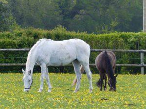 Ecurie les Grainvilleries : pension pour chevaux au pré au printemps