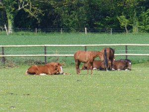 Ecurie les Grainvilleries : pension pour chevaux au pré en Normandie
